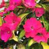 Impatiens, Sunpatien Compact Tropical Rose
